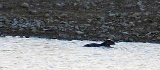 OtterMar11b