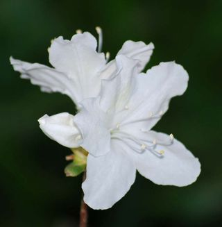 White azalAp6