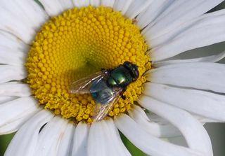 GreenflyAp16