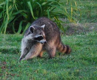 RaccoonAp26