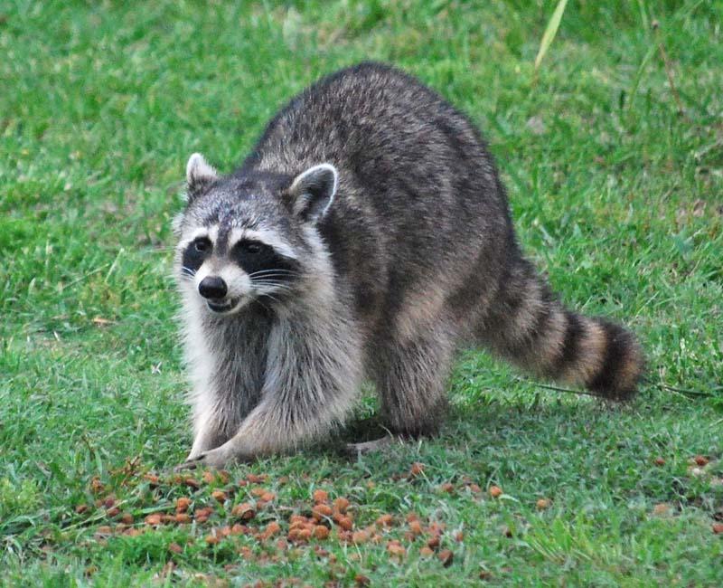RaccoonAp26a