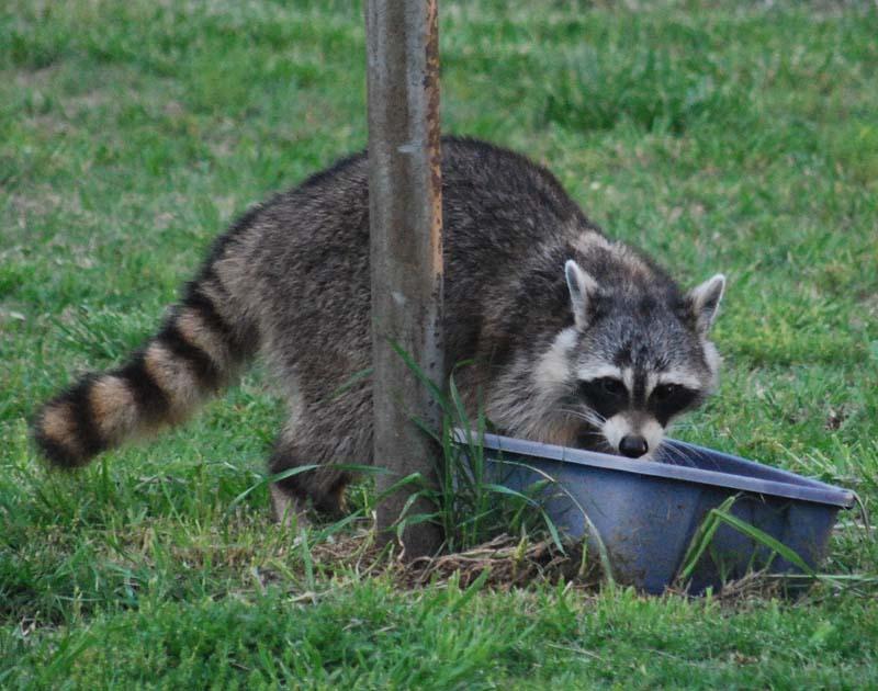 RaccoonAp26d