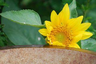 SunflowerMay31