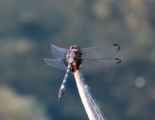 DragonflyJun12b