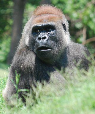 Gorillaface2