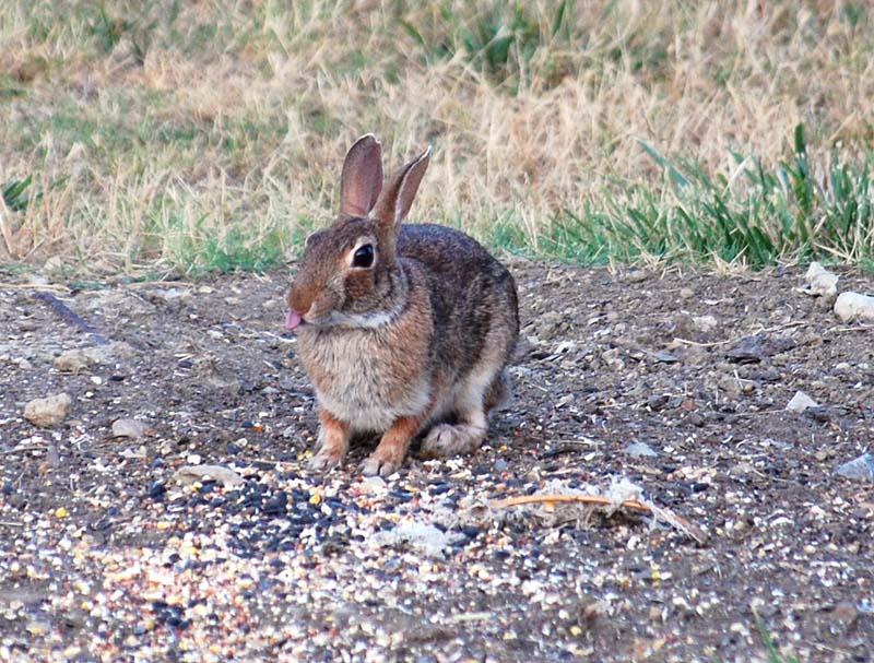 RabbitJul6a