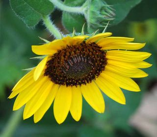 SunflowerJul20