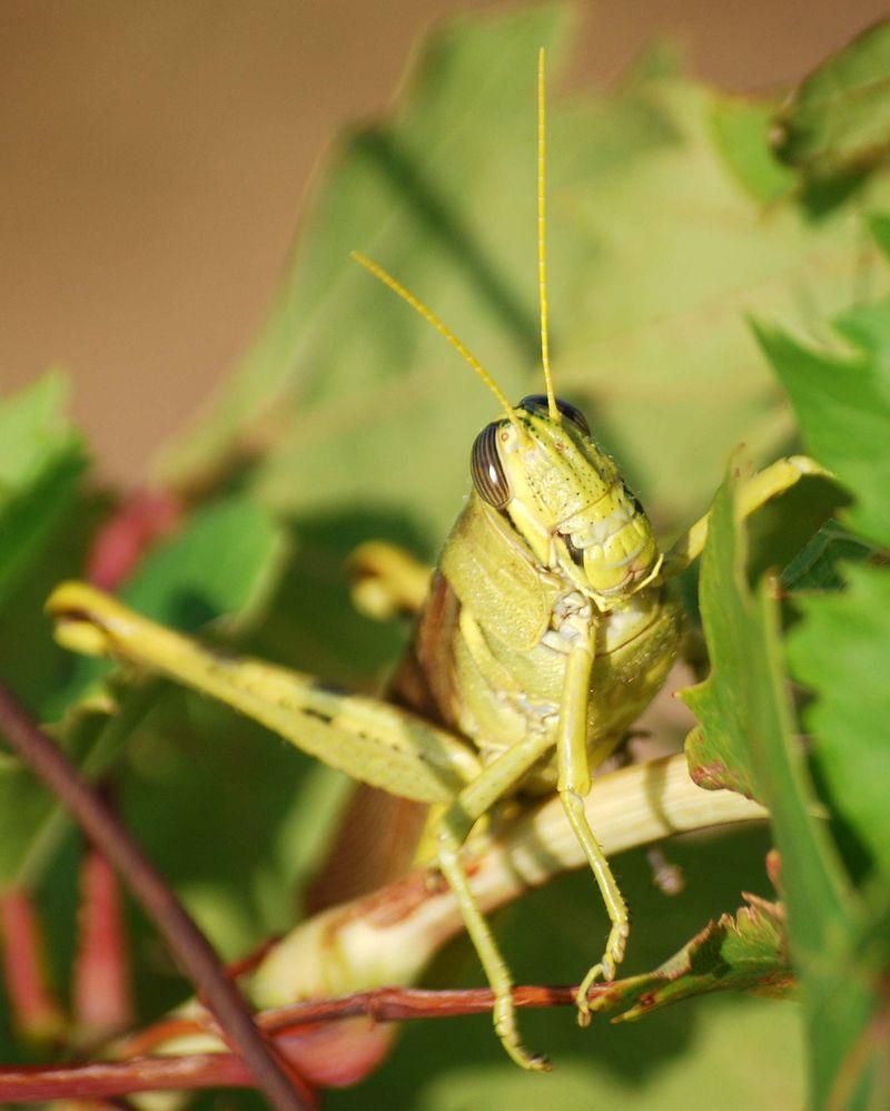 GrasshopperAug2