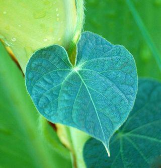 LeafAug2