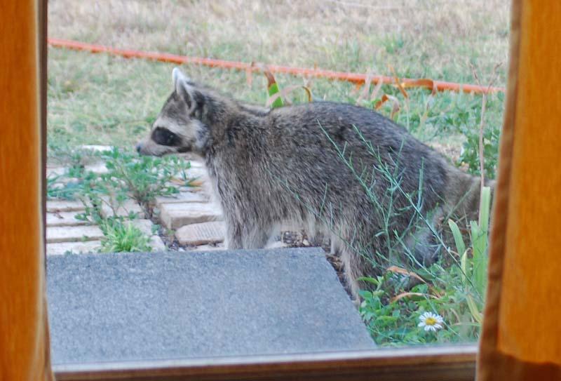 RaccoonAug13