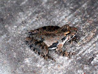FrogAp23a