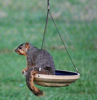 SquirrelAp23a