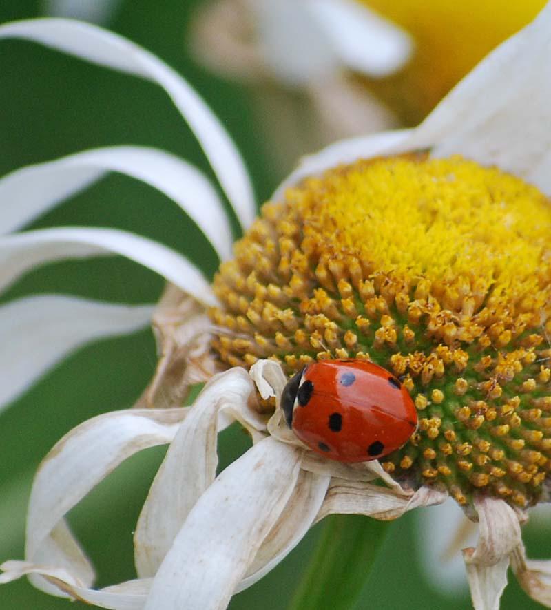 LadybugAp24
