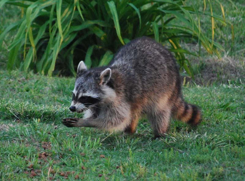 RaccoonAp26c
