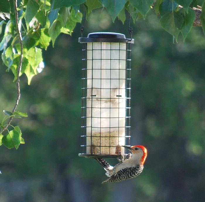 WoodpeckerMay5