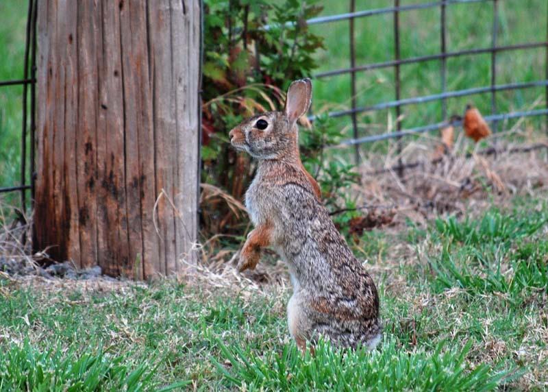 RabbitMay30