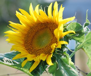 SunflowerJun6a