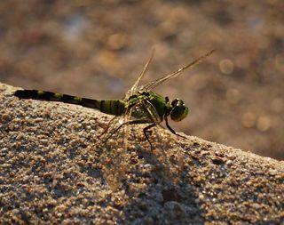 DragonflyJun22a