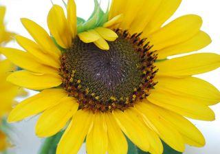 SunflowerJun22