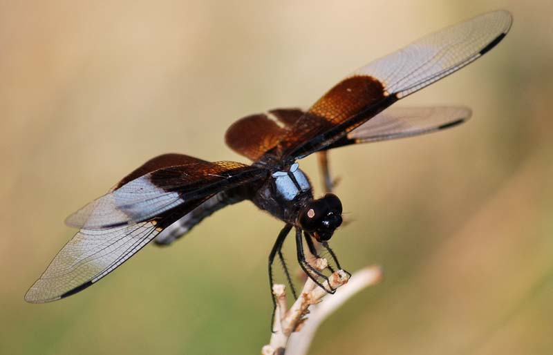 DragonflyJul16c