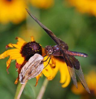 DragonflyJul19b