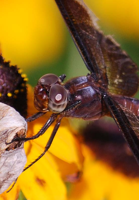 DragonflyJul19c