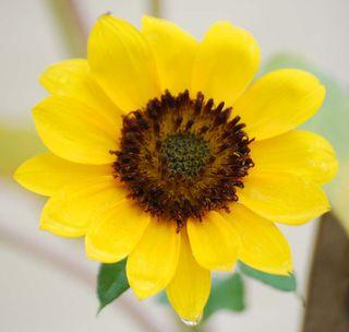 SunflowerOct9b