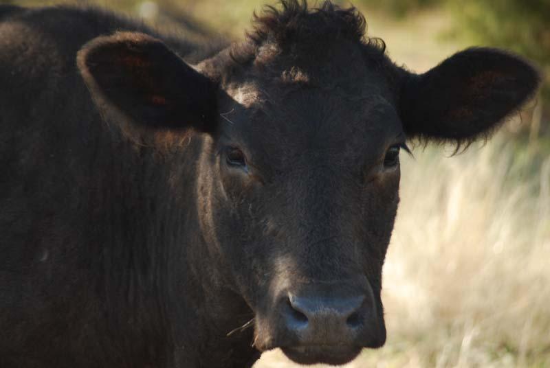 CowOct16