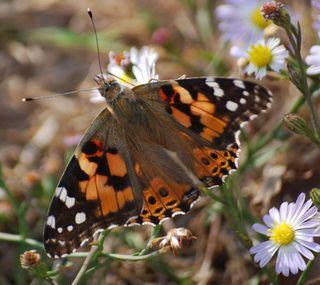ButterflyNov6c