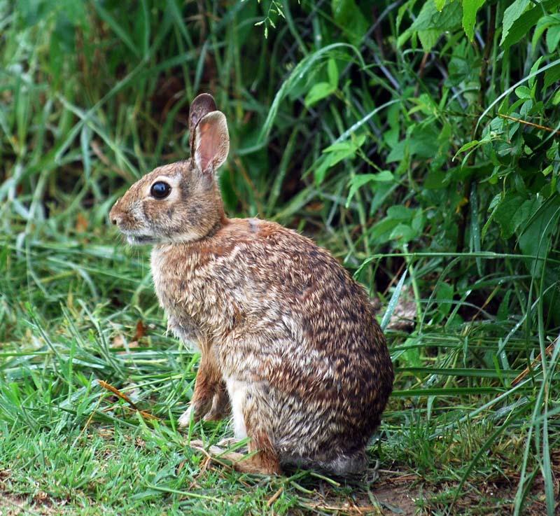RabbitAp25
