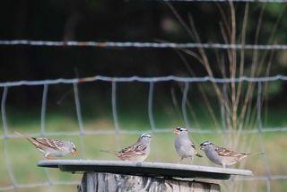 SparrowsAp25