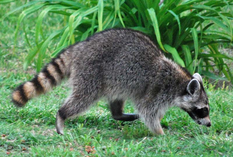 RaccoonAp26b