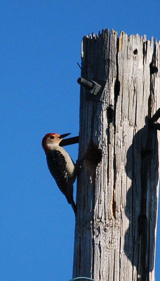 WoodpeckerMay3