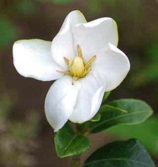 GardeniaMay8