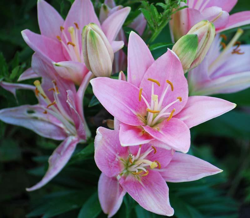 PinkliliesMay17