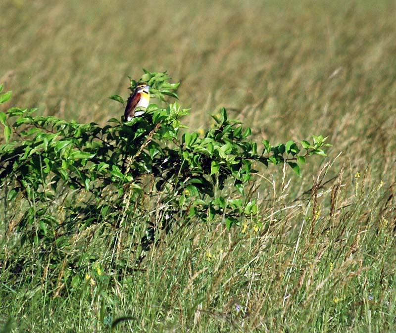 MeadowlarkMay25a