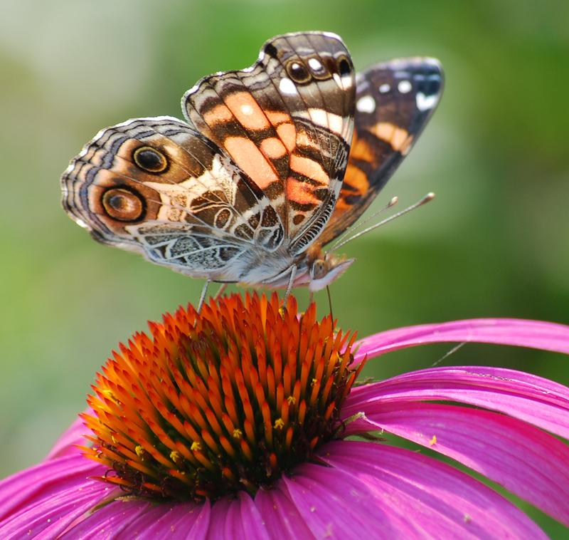 ButterflyJun5