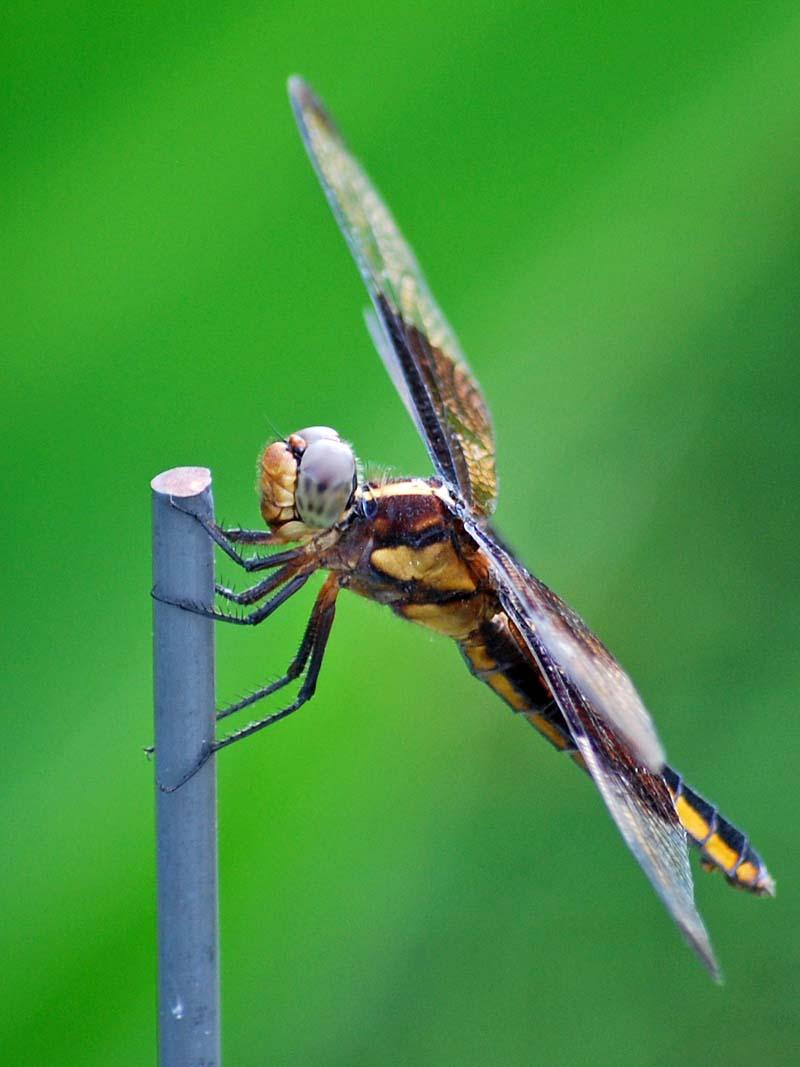 DragonflyJun28d