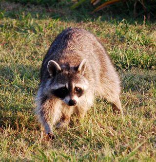 RaccoonJun29h