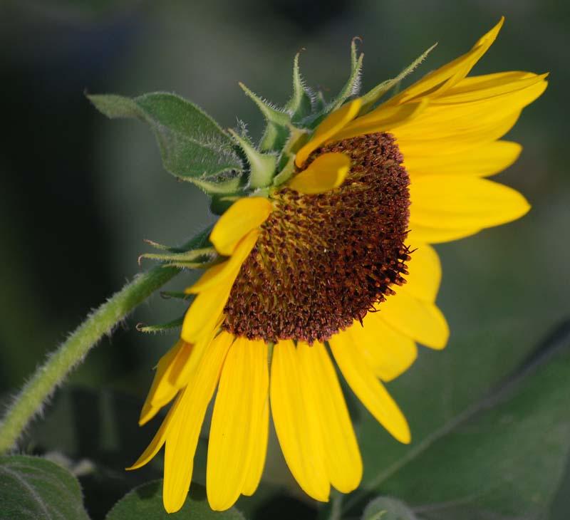 SunflowerJul12
