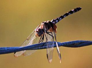 DragonflyJul12c
