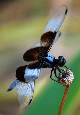 DragonflyJul16b