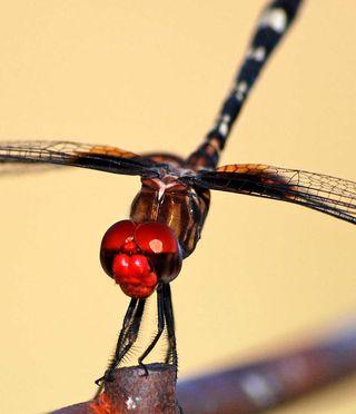 DragonflyJul19a