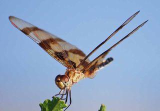 DragonflyJul21c