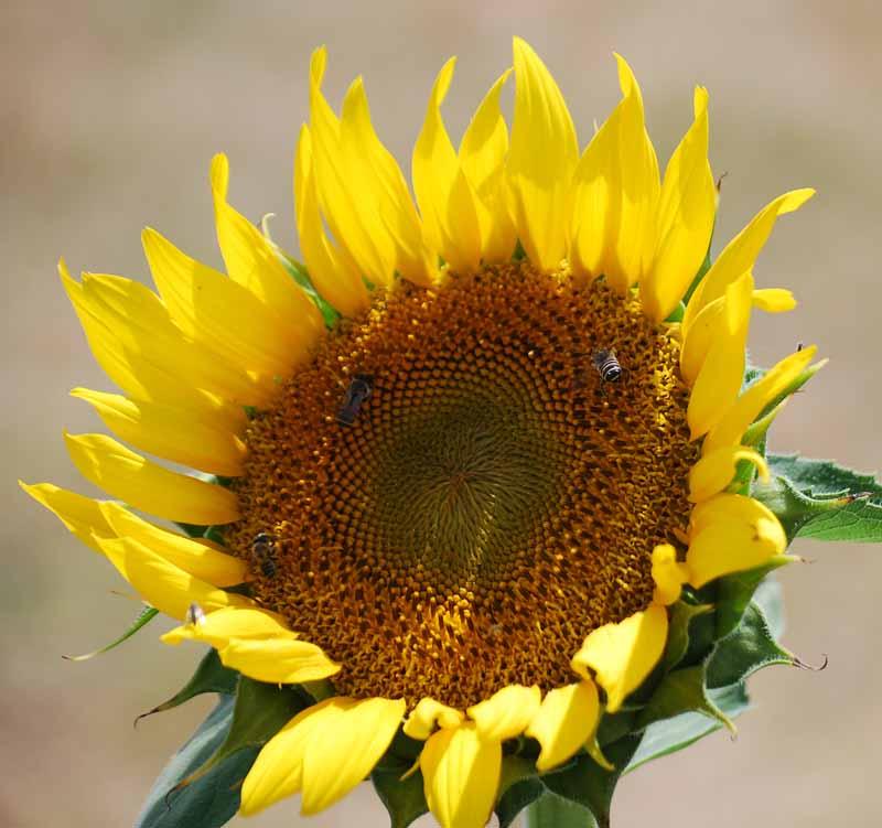 SunflowerJul26