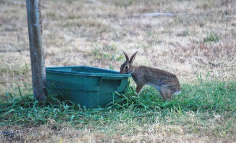 RabbitdrinkAug7