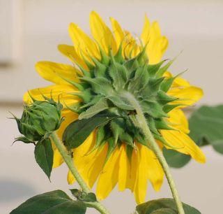 SunflowerAug28a