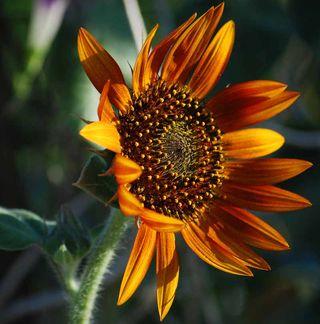 SunflowerJul23
