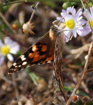 ButterflyNov6b