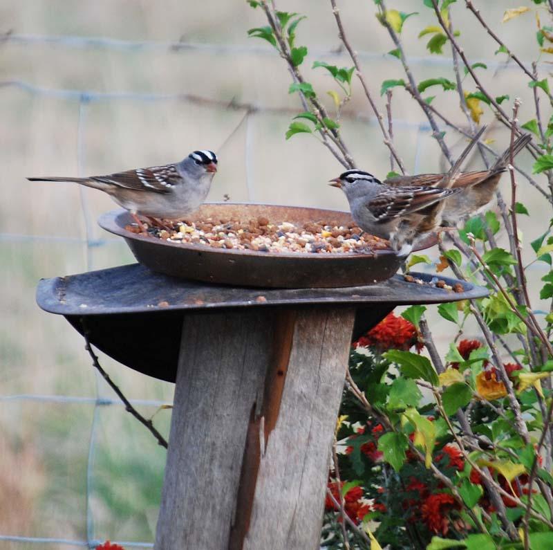 SparrowsNov19b